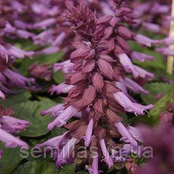 Семена сальвия Аморе, блестящая пурпурная 1 000 сем.