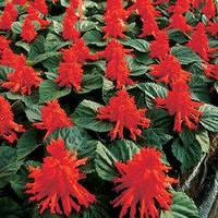 Семена сальвия Ред Алерт, блестящая 1 000 сем.