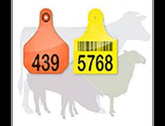 Идентификация овец, коз