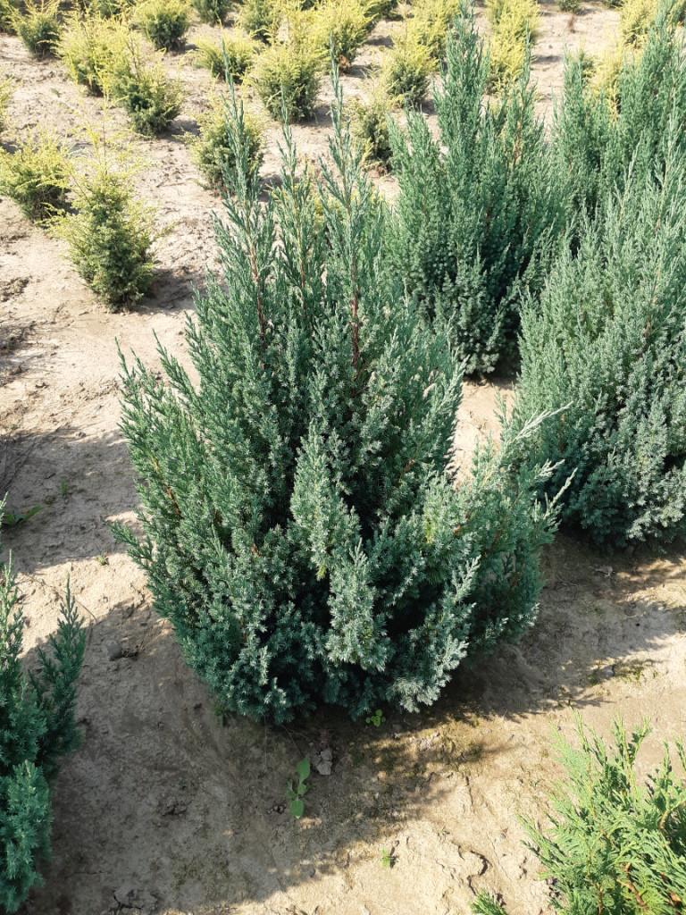 Можжевельник китайский Стрикта (Juniperus chinensis Stricta) 90-100 см.