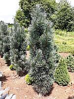 Pinus sylvestris Fastigiata (Сосна обыкновенная Фастигиата) 120-150 см.