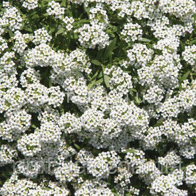Алиссум (лобулярия) Снежинка 100 шт