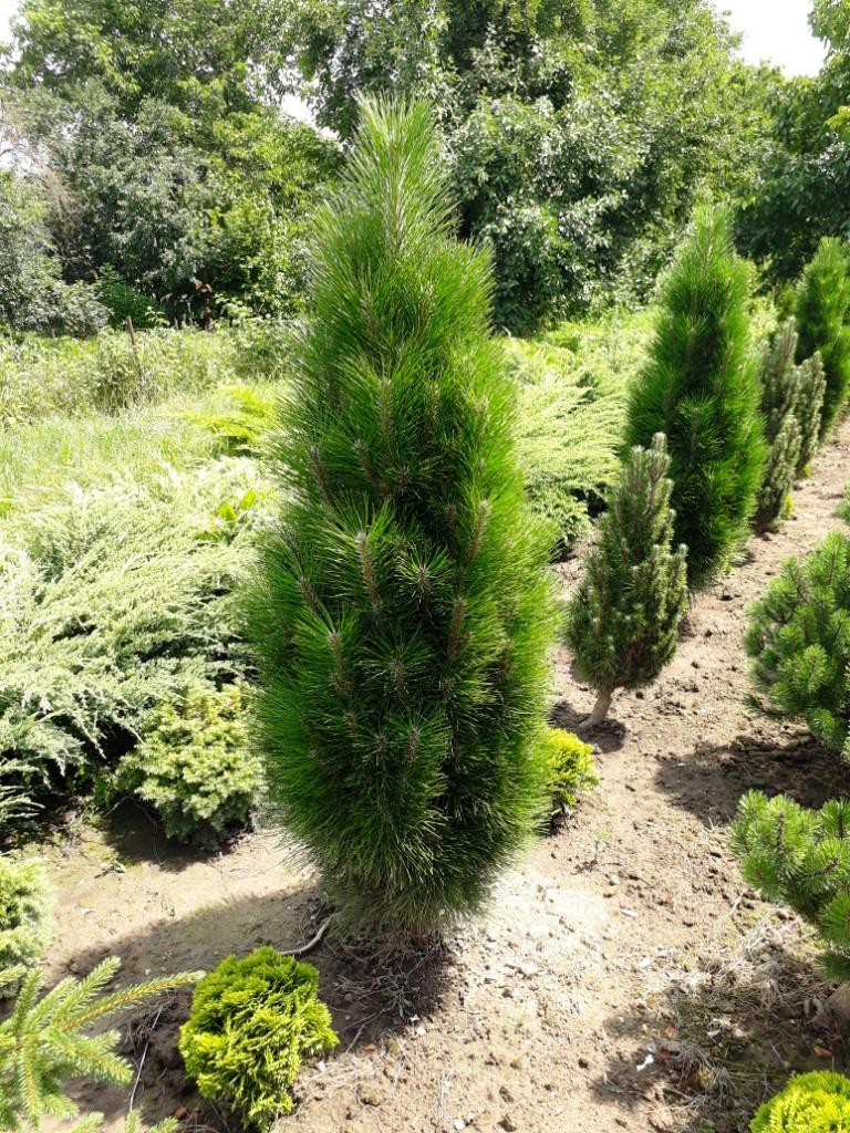 Сосна черная Фастигиата (Pinus nigra Fastigiata) 120-150 см.