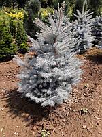 Picea glauca Edit (Ель колючая Эдит) 100-120 см.
