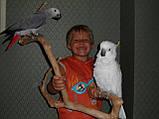 Какаду Желтохохлый ручний., фото 5