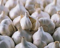 Рекомендации по механизированному выращиванию чеснока