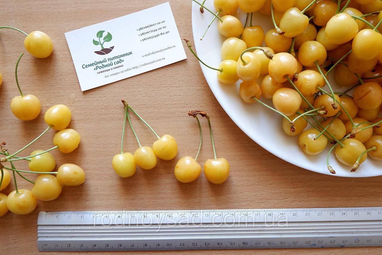 Черешня жёлтая семена (10 штук) насіння, косточка, семечка для выращивания саженцев + инструкция