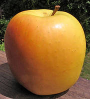 Саженцы яблони Тентейшн. (Б7-35).  Зимний сорт., фото 1