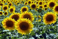 Семена подсолнечника ЕС Бесана