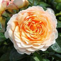 Роза чайно-гибридная Эскалибур