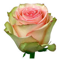 Роза чайно-гибридная Эсперанса