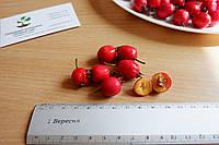 Боярышник семена (10 шт) (насіння глоду для саджанців)семечка, косточка для выращивания саженцев