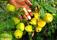 Хеномелес семена (10шт)айва японская (насіння для саджанців)семечка, косточка для выращивания саженцев