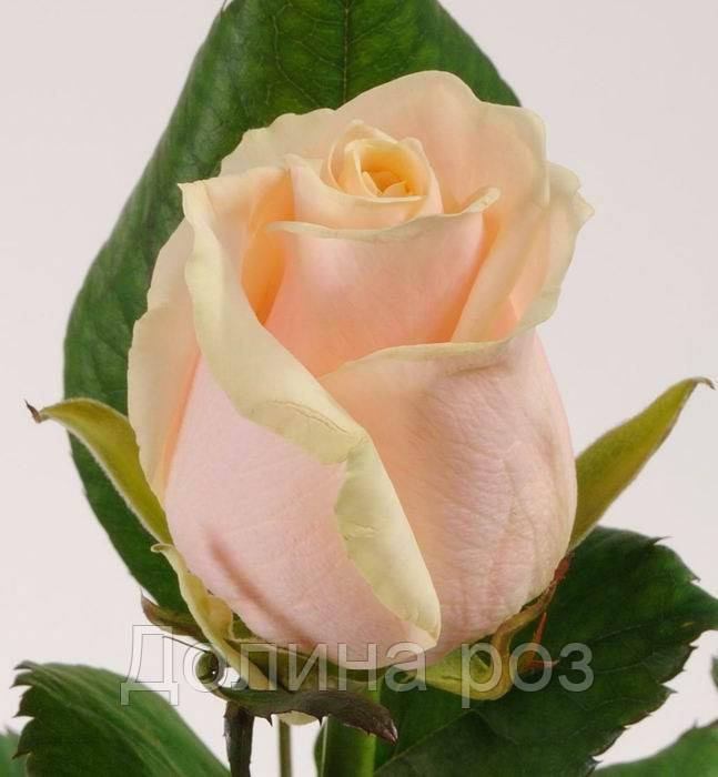роза осиана описание и фото