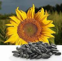 Семена подсолнечника P64LE20