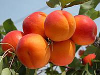NEW в Україні! Саджанці абрикосу Frisson (Фріссон)