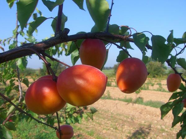 NEW в Україні! Саджанці абрикосу Wonder Cot (Вондер Кот)