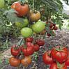 Семена томата Баракуда F1 1000 сем.Ларк сидс.