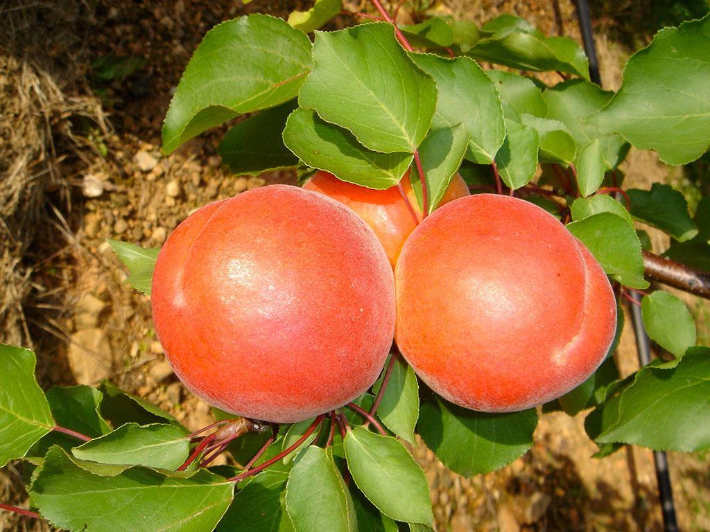 NEW в Україні! Саджанці абрикосу BERGEVAL (БЕРЖЕВАЛЬ)