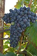 Макси, черенки винограда  (цена указана за почку)