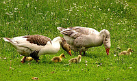 Ветеринарные рекомендации для уток и гусей
