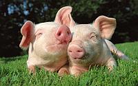 Ветеринарные рекомендации для свиней