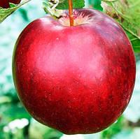 Саджанці яблуні Моді