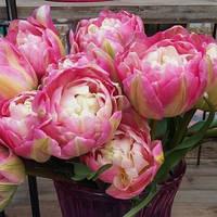 Тюльпан Double Sugar (Двойная сладость) луковица