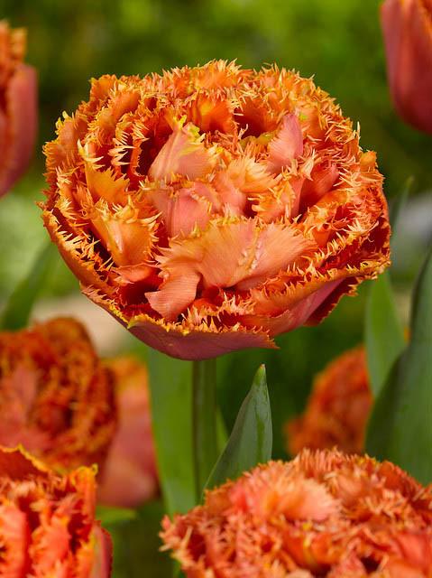 Тюльпан Махровый Бахромчатый Sensual Touch (Сенсуал Тач) луковица
