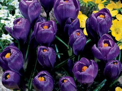 Крокус крупноцветковый Flower Record (Флауэр Рекорд) луковица