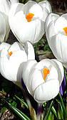 Крокус крупноцветковый Jeanne D`Arc Жанна д`Арк луковица