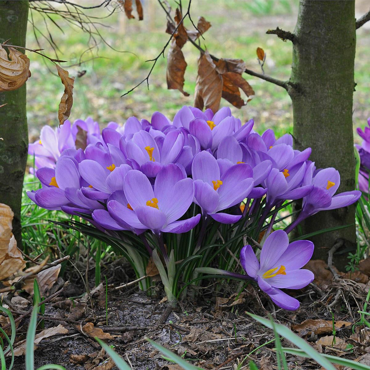 Крокус крупноцветковый Grand Maitre (Гранд Метр) луковица