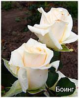 Саженцы чайно-гибридной розы Боинг