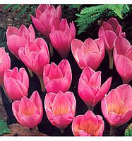 Крокусы крупноцветковые Zonatus (Зонатус) луковица