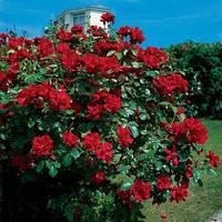 Саженцы чайно-гибридной розы Нина Вейбул
