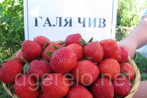 Клубника Галя Чив - поздняя