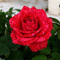Саженцы чайно-гибридной розы Ред интуишн
