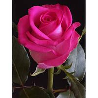 Саженцы чайно-гибридной розы Топаз