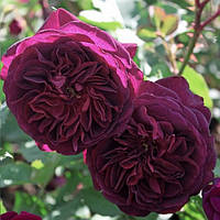 Троянда англійська Дарк Леді