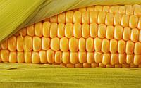 Кукурудза Mas 12.R (Україна)