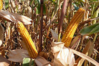 Кукурудза  Mas 18.T (Україна)