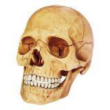 Анатомическая модель человека  'Череп человека', 4D Master 26086