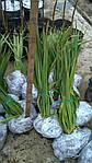 Юкка нитчатая, Yucca filamentosa, 60 см, фото 4