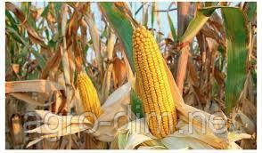 Семена кукурузы Полтава ФАО 270, фото 2