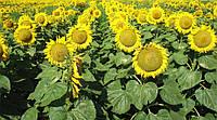 Семена подсолнечника Одиссей ИМИ Гермес (Стандарт)