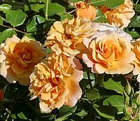 Роза Текила. Флорибунда.
