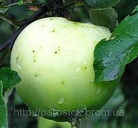 Яблоня Кальвиль Снежный. (54-118) Зимний сорт.
