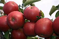 Яблоня Ред Джонапринц. (М.9). Зимний сорт.