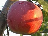 Яблоня Флорина. (М.9). (вв/кр). Зимний сорт, фото 2