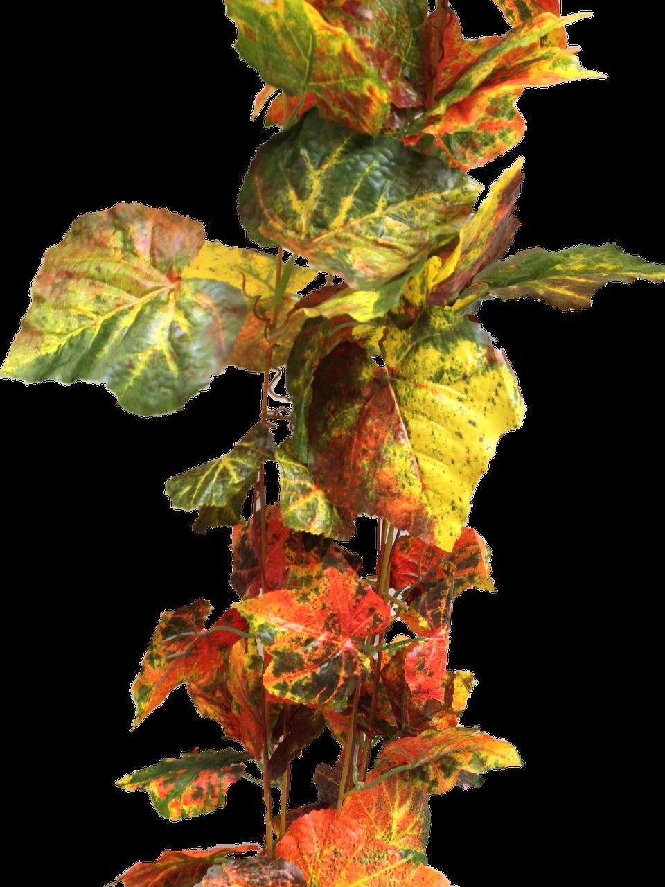Лиана осенний виноград 14 метров